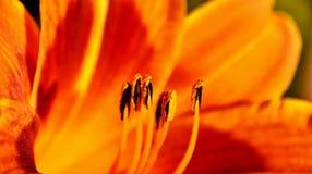 Binnen een oranje lelie Royalty-vrije Stock Foto's