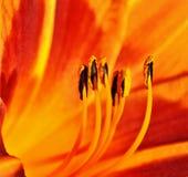 Binnen een oranje lelie Royalty-vrije Stock Fotografie