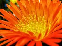 Binnen een oranje Vygie Royalty-vrije Stock Afbeelding