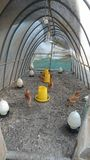 Binnen een snel-gebouwde kippentent stock afbeelding