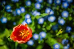 Binnen een Tulp Royalty-vrije Stock Afbeeldingen