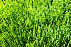 Binnen gekweekt wheatgrass van het sluiten Stock Afbeelding