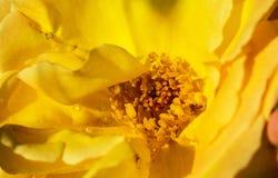 Binnen gele nat nam toe Prachtige aard stock fotografie