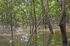 Binnen het overstroomde bos van Amazonië stock foto