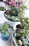 Binnen installatie-Succulents in pot Stock Afbeeldingen