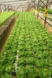 Binnen Landbouwbedrijf Letuce Stock Foto