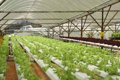 Binnen Landbouwbedrijf Letuce royalty-vrije stock foto's