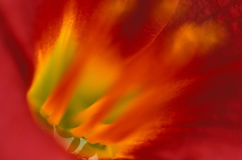 Binnen tijger lilly stock afbeelding