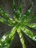 Binnen van de boomstammen van de vliegtuigboom Stock Foto's