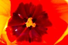 Binnen van een tulp Royalty-vrije Stock Fotografie
