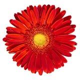 Binnenbloem rood-gele die Gerbera op witte achtergrond wordt geïsoleerd Close-up Macro royalty-vrije stock foto