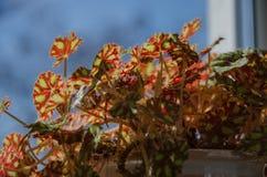 Binnenbloemen Stock Fotografie
