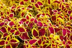 Binnenbloemsiernetel, gele, rode, kastanjebruine natuurlijke bladeren, natur Royalty-vrije Stock Afbeeldingen