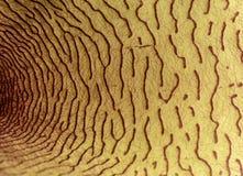 Binnendetails van een succulente gele bloem van stapeliagigantea stock afbeelding