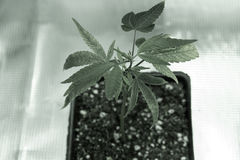 Binnengorilla grow Royalty-vrije Stock Foto's