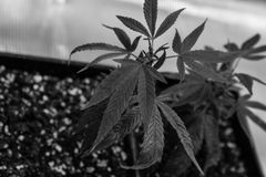 Binnengorilla grow Royalty-vrije Stock Foto
