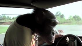Binnenland dat van aap drijfauto wordt geschoten stock footage