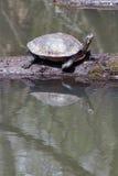 Binnenland Geschilderde Schildpad Stock Foto