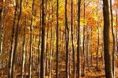 Binnenland van Autumn Beechen Forest, Sulov-Bergen, Slowakije Stock Foto's