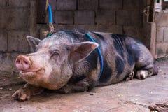 Binnenlands groot varken in een landbouwbedrijf Stock Afbeelding