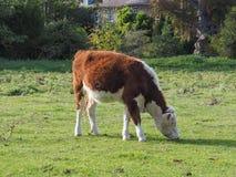 Binnenlands het zoogdierdier van de veeaka geacclimatiseerd koe royalty-vrije stock foto's