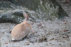 Binnenlands konijn Royalty-vrije Stock Foto's