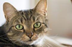 Binnenlands marmeren kattenportret, oogcontact, leuk potgezicht royalty-vrije stock fotografie