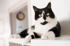 Binnenlandse cat Stock Afbeeldingen