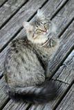 Binnenlandse cat Stock Afbeelding