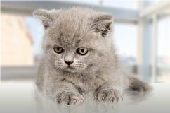 Binnenlandse cat Royalty-vrije Stock Afbeeldingen
