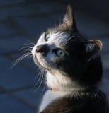 Binnenlandse cat Stock Foto