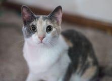 Binnenlandse cat Royalty-vrije Stock Foto