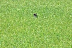 Binnenlandse Cat Stalking Prey royalty-vrije stock afbeelding