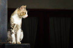 Binnenlandse Cat Standing Stock Afbeelding