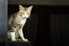 Binnenlandse Cat Standing Royalty-vrije Stock Fotografie