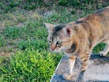 Binnenlandse Cat Standing op de Vloer die bij iets staart stock foto's