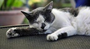 Binnenlandse Cat Taking een Dutje Royalty-vrije Stock Foto