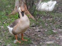 Binnenlandse Chinese gans Grote vogels op een hobbylandbouwbedrijf in Ontario, Canada royalty-vrije stock foto