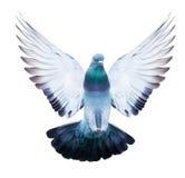 Binnenlandse duifvogel in het vliegen geïsoleerde actie Stock Afbeeldingen