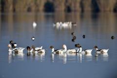 Binnenlandse ganzen op het meer royalty-vrije stock afbeelding