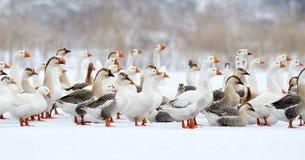 Binnenlandse ganzen openlucht in de winter stock foto's