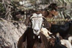 Binnenlandse geit in Oman Stock Foto's
