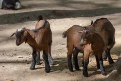 Binnenlandse het zoogdiergeit van het landbouwbedrijfdier, land royalty-vrije stock fotografie