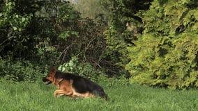 Binnenlandse Hond, Duitse herder Dog, het Volwassen lopen op Gras, het de Trainerwerk van de Hondaanval stock videobeelden