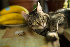 Binnenlandse jonge vrouwelijke kat Stock Foto's