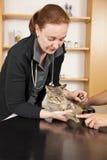 Binnenlandse kat die bij dierenarts wordt onderzocht Stock Afbeelding
