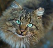 Binnenlandse kat die in camera kijken. starende ogen Royalty-vrije Stock Afbeeldingen