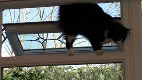 Binnenlandse kat die door venster binnengaan stock video