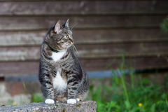 Binnenlandse kat die in openlucht dichtbij houten muur zitten Royalty-vrije Stock Foto