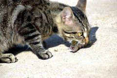 Binnenlandse kat die vissen eten Royalty-vrije Stock Fotografie